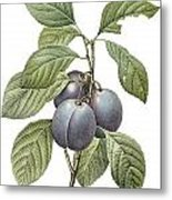 Purple Plum Metal Print