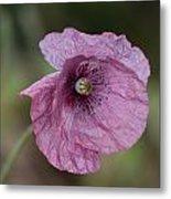 Purple Poppy Metal Print