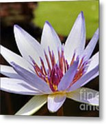 Purple Rhonda Kay Waterlily Above The Pond Metal Print