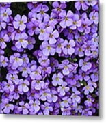 Purple Rockcress Metal Print