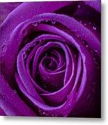 Purple Rose Close Up Metal Print
