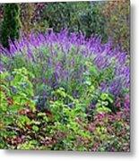 Purple Salvia In The Garden Metal Print