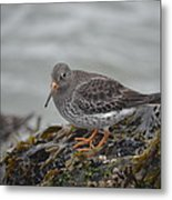 Purple Sandpiper 2 Metal Print