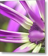 Purple Senetti I Metal Print by Cate Schafer