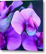 Purple Sweet Peas Metal Print