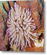 Purple Tip Anemone Metal Print