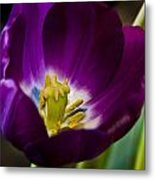 Purple Tulip Metal Print