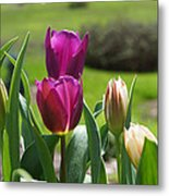 Purple Tulips Garden Art Print Tulip Flowers Metal Print