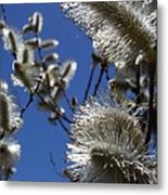 Pussywillow Metal Print