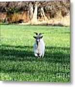 Pygmy Goat Metal Print
