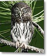 Pygmy Owl Metal Print