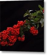 Pyracantha Berries On Black - Pennsylvania Metal Print