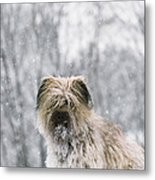 Pyrenean Shepherd Dog Metal Print