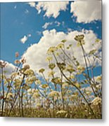 Queen Anne Lace And Sky Metal Print by Jenny Rainbow