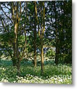 Queen Anne's Lace Makes A White Carpet In The Woods Near Rutland Metal Print