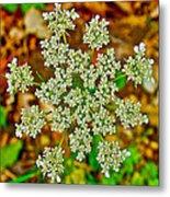 Queen Anne's Lace Or Wild Carrot Near Alamo-michigan Metal Print