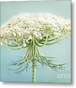 Queen Anne's Lace Wildflower Metal Print