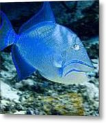 Queen Triggerfish Metal Print