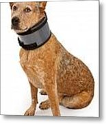 Queensland Heeler Dog Wearing A Neck Brace Metal Print by Susan Schmitz