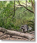 Raccoon At The Lake Metal Print