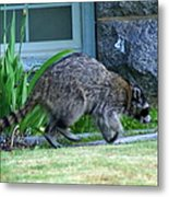 Raccoon In Flight Metal Print