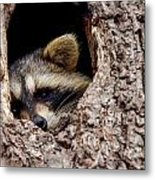 Raccoon In Tree Metal Print