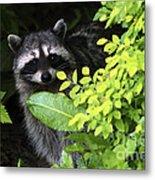 Raccoon Peek-a-boo Metal Print