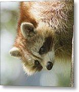 Raccoon Portrait Metal Print