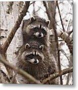 Raccoon Siblings Metal Print