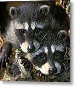 Raccoon Young Procyon Lotor In Tree Metal Print