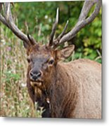 Racked Roosevelt Elk Metal Print