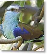 Racket Tailed Roller Metal Print