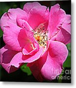 Radiant In Pink - Rose Metal Print