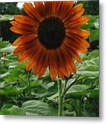 Radiant Sunflower  Metal Print