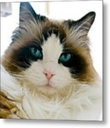 Ragdoll Cat Metal Print