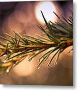 Rain Droplets On Pine Needles Metal Print by Loriental Photography