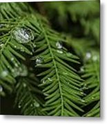 Rain Drops On Cypress Metal Print