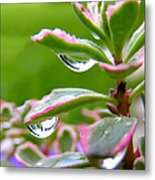 Raindrops On Sedum Metal Print