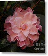 Rain Kissed Camellia Metal Print