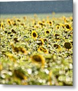 Rain On The Sunflowers Metal Print