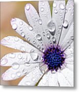 Rain Soaked Daisy Metal Print