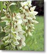 Rain-spangled Locust Flowers Metal Print