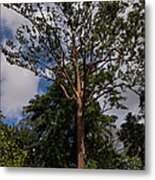 Rainbow Eucalyptus - Tall Proud And Beautiful Metal Print