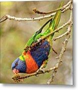 Rainbow Lorikeet 02 Metal Print