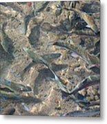 Rainbow Trout Art Prints Canvas Framed Metal Print
