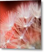 Raindrops On Dandelion Red Metal Print