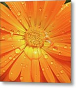 Raindrops On Orange Daisy Flower Metal Print
