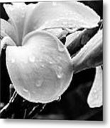 Raindrops On Plumeria Metal Print