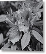 Raindrops On Springtime  Mono Metal Print