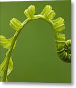 Rainforest Fern Unfurling Sabah Borneo Metal Print